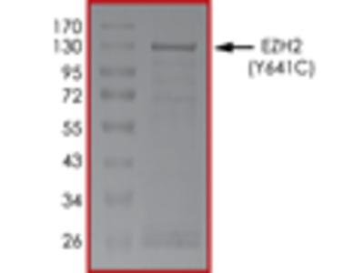 EZH2 (Y641C) Protein