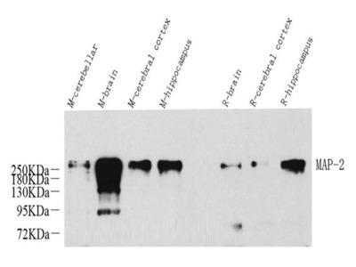 MAP2 Polyclonal Antibody