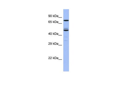 TBC1D25 Antibody - C-terminal region