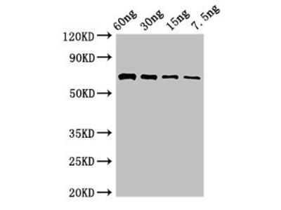 pvdA Antibody