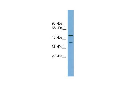 C6orf154 antibody - N-terminal region