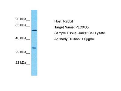 PLCXD3 Antibody - C-terminal region