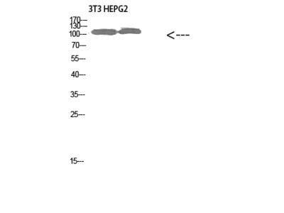 Rabbit Anti-Collagen alpha-1 Antibody