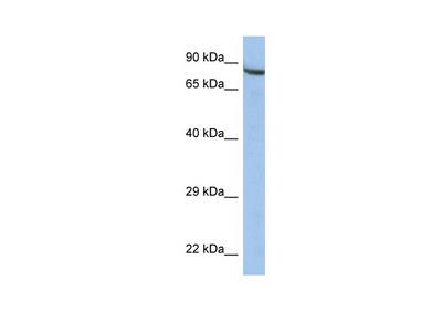 ZNF630 antibody - middle region