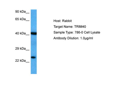 TRIM40 Antibody - middle region