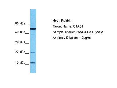 LRRC75A-AS1 Antibody - C-terminal region