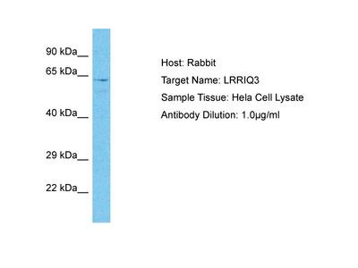 LRRIQ3 Antibody - C-terminal region