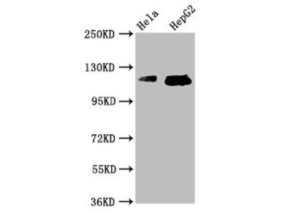 TMF1 Antibody