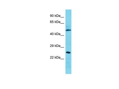 C3orf26 Antibody - N-terminal region
