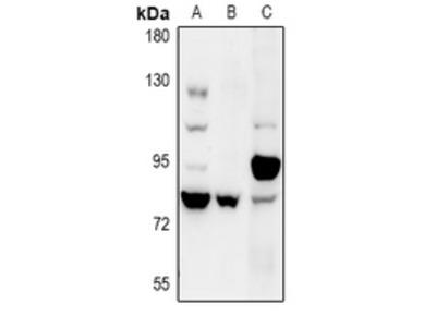 Anti-COP1 Antibody