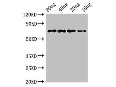 htpG Antibody