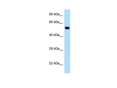 Zfp874b antibody - middle region
