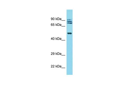 TRIM64 Antibody - N-terminal region