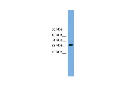 CSH2 antibody - middle region