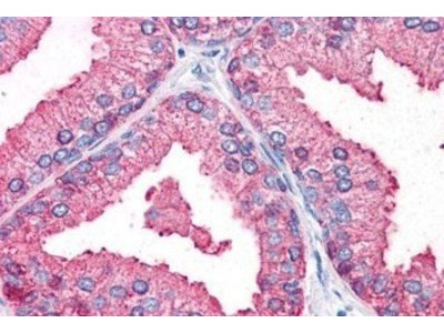 DC2 Antibody