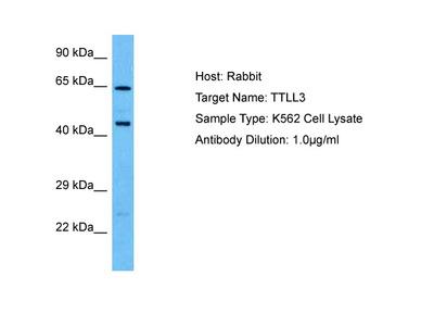 TTLL3 Antibody - middle region