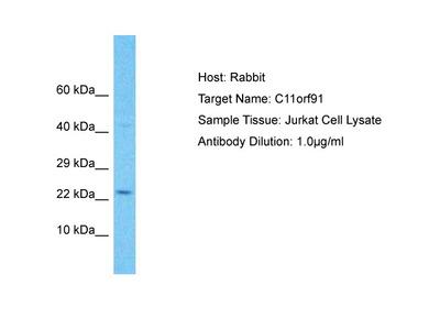 C11orf91 Antibody - C-terminal region