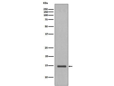 Anti-Histone H2B (yeast) Rabbit pAb