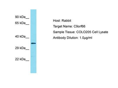 C9orf66 Antibody - C-terminal region