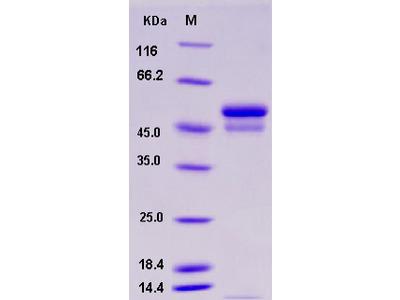 Recombinant Mouse SerpinI1 / Neuroserpin Protein (His tag)