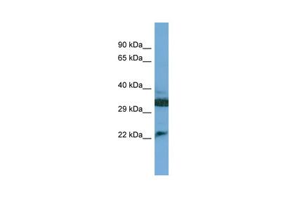 C8G Antibody - N-terminal region