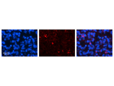 CRSP9 antibody - N-terminal region