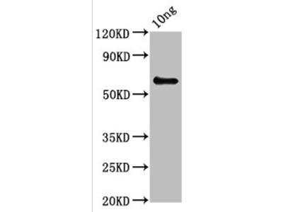 pepP Antibody