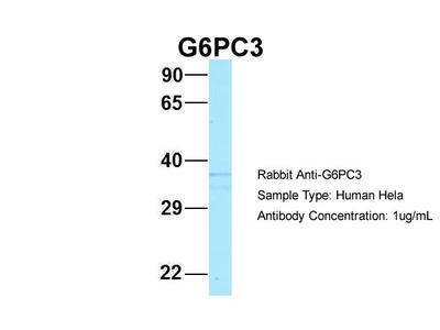 G6PC3 Antibody - N-terminal region