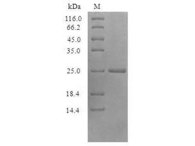 Recombinant Vaccinia virus Protein I5 (VACWR074)