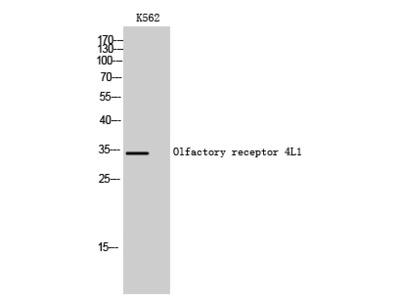 Olfactory Receptor 4L1 Polyclonal Antibody