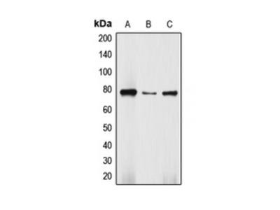 DBF4 Antibody