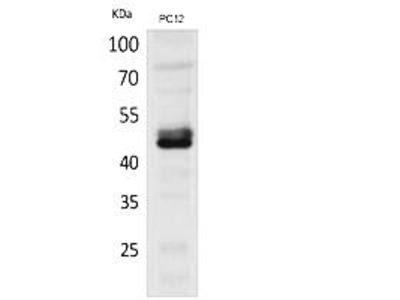 NKp44 Polyclonal Antibody