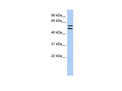 ZNF513 antibody - middle region