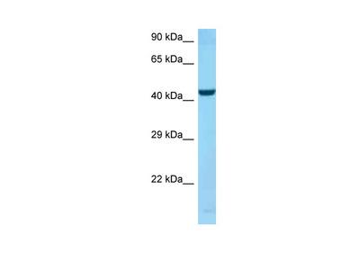 SPOCK2 antibody - C-terminal region