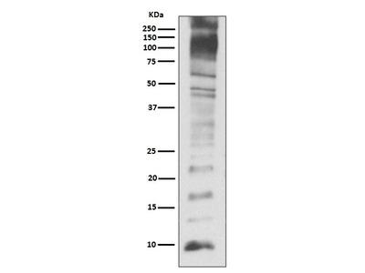 Rabbit Anti-Ubiquitin Antibody