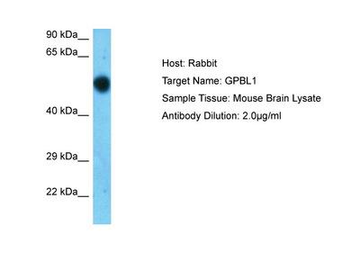 Gpbp1l1 Antibody - C-terminal