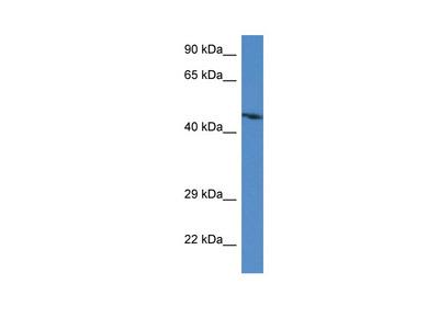 Abra antibody - C-terminal region