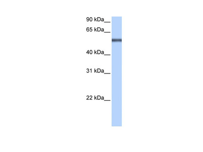 LRRC8E antibody - middle region