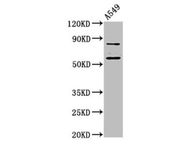 LRRFIP2 Antibody