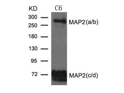 MAP2 Antibody