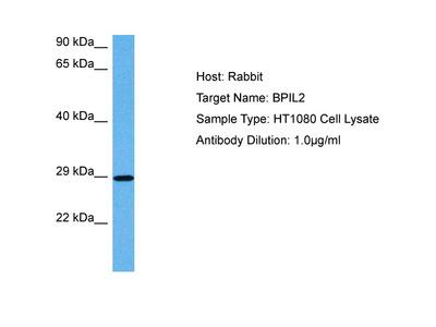 BPIFC Antibody - C-terminal region