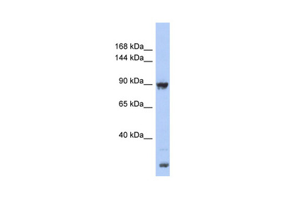 URG4 antibody - middle region
