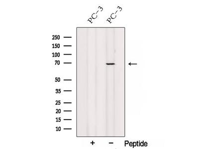 SPATA7 Antibody