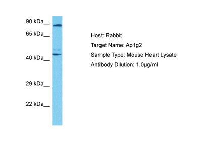 AP1G2 Antibody - middle region