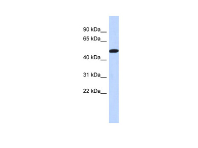 TRIML2 antibody - middle region