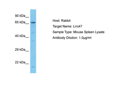 LRRC47 Antibody - middle region