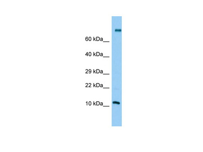 PLA2G2C Antibody - middle region
