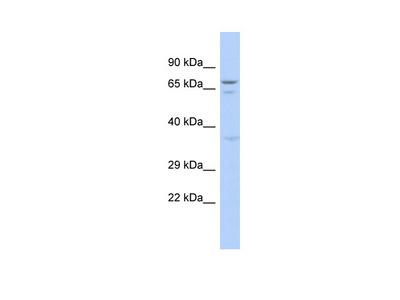 GAS2L3 Antibody - N-terminal region