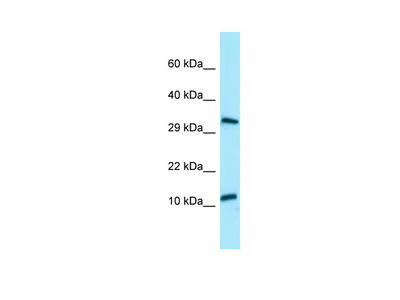 BPY2 antibody - C-terminal region