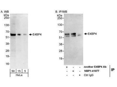 Rabbit Polyclonal NFIL3 Antibody